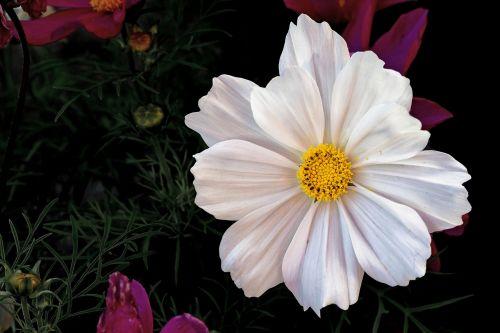 cosmea,lankstinukas leved schmuckblume,kosmosas,cosmea bipinnata,kosmee,gėlė,balta