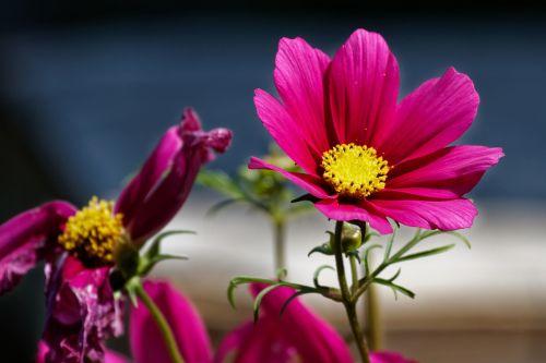 cosmea,lankstinukas leved schmuckblume,kosmosas,cosmea bipinnata,kosmee,gėlė,raudona