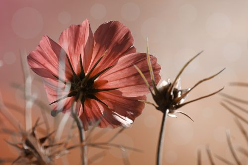 cosmea,gėlė,augalas,nuotrauka,žolės,dangus,žiedas,žydėti,vasara,rožinė gėlė,žydėti,pavasaris,cosmea bipinnata,sodas,kompozitai,dekoratyvinė gėlė,Uždaryti,makro,gamta
