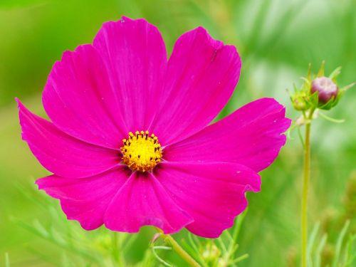 cosmea,kosmosas,gėlė,žiedas,žydėti,budas,cosmea bipinnata,Uždaryti,raudona,kompozitai,gėlių pieva