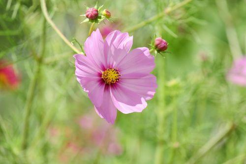 cosmea,gėlė,žiedas,žydėti,gėlės,rožinis,cosmea bipinnata,gamta
