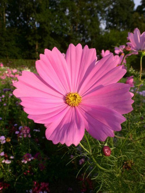 cosmea,rožinis,žiedas,žydėti,gėlė,vasara,gamta,rožinė gėlė,augalas,žydėti,kosmee,sodas,Uždaryti,krūmų vasara