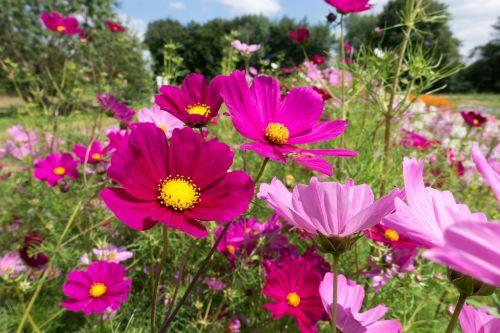 cosmea,gėlės,geliu lova,žiedas,žydėti,vasara,sodas,cosmea bipinnata,rožinis,raudona,augalas,žydėti