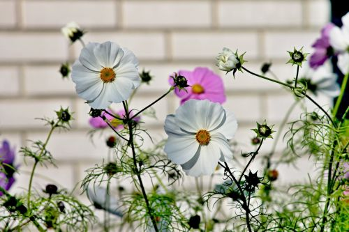 cosmea,gėlė,cosmos bipinnatu,kosmosas,žiedas,žydėti,vasara,sodas,gamta,rožinis,augalas,Uždaryti,violetinė,gėlių pieva,violetinė,kosmee,pavasaris,kompozitai,balta,lankstinukas leved schmuckblume,gėlių sodas,žydėti,rožinė gėlė,gėlės