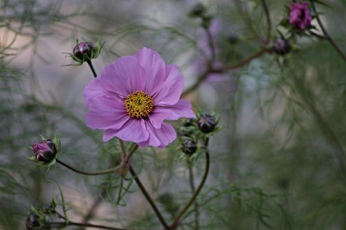 cosmea,gėlė,cosmos bipinnatu,kosmosas,žiedas,žydėti,vasara,sodas,gamta,rožinis,augalas,Uždaryti,violetinė,gėlių pieva,violetinė,kosmee,pavasaris,kompozitai,lankstinukas leved schmuckblume,gėlių sodas,žydėti,rožinė gėlė,gėlės