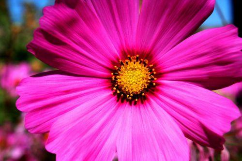 cosmea,dekoratyvinis augalas,kosmosas,kompozitai,cosmea bipinnata,violetinė,šviesiai violetinė,šviesiai rožinė,schnittblume,dekoratyvinė gėlė,žiedas,žydėti,rožinis,gėlė
