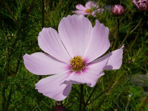 cosmea,gėlė,žiedas,žydėti,šviesiai rožinė,šviesiai violetinė,helllila,violetinė,violetinė,kosmosas,cosmos bipinnatus,cosmea bipinnata,bidens formosa,coreopsis formosa bonato,lankstinukas leved schmuckblume,išpjautas lapas,kosmee,kompozitai,asteraceae,dekoratyvinis augalas,dekoratyvinė gėlė,schnittblume