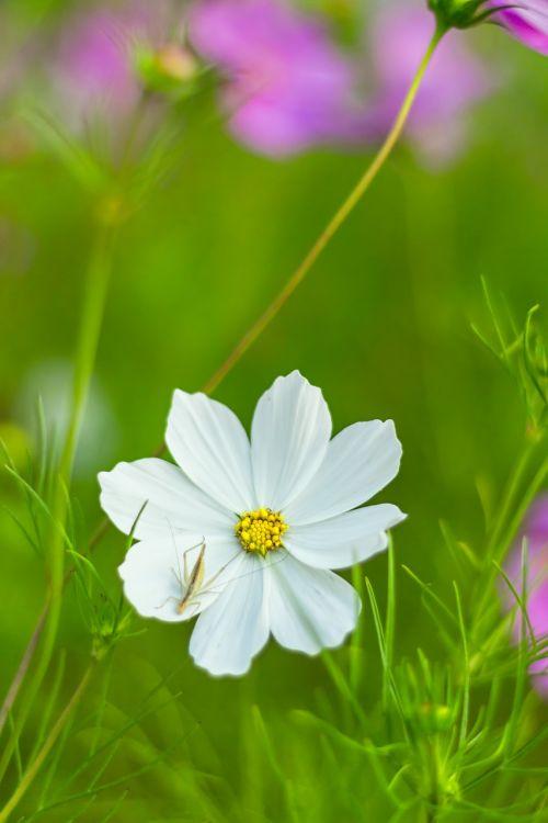 cosmea bipinnata,cosmea,como bipinnatus,gėlė,kompozitai,žiedas,žydėti,augalas,kosmee,dekoratyvinis augalas,gamta,vasara,balta,Uždaryti,žydėti,pavasaris,rožinis,kosmosas,dekoratyvinė gėlė,makro,sodas,schnittblume,gėlių pieva,išpjautas lapas,lankstinukas leved schmuckblume,žiogas