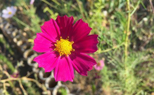 kosmosas,sodas,graži gėlė,gėlės,gamta,sodo gėlė,sodo gėlės,ruduo,rožinė gėlė,dacha