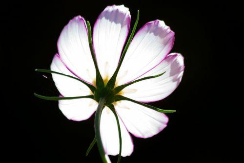 kosmosas,como bipinnatus,cosmea bipinnata,lankstinukas leved schmuckblume,kosmee,augalas,kompozitai,asteraceae,dekoratyvinis augalas,atgal šviesa,apačioje
