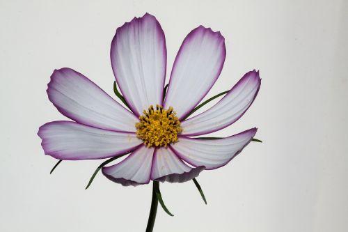 kosmosas,como bipinnatus,cosmea bipinnata,lankstinukas leved schmuckblume,kosmee,augalas,kompozitai,asteraceae,dekoratyvinis augalas,žiedynas,rožinis,balta