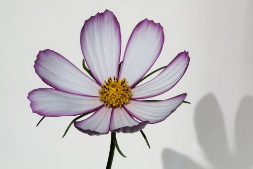 kosmosas,como bipinnatus,cosmea bipinnata,lankstinukas leved schmuckblume,kosmee,augalas,kompozitai,asteraceae,dekoratyvinis augalas,žiedynas,rožinis,balta,šešėlis