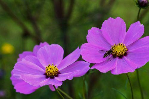 kosmosas,sodas,gėlė,kompozitai