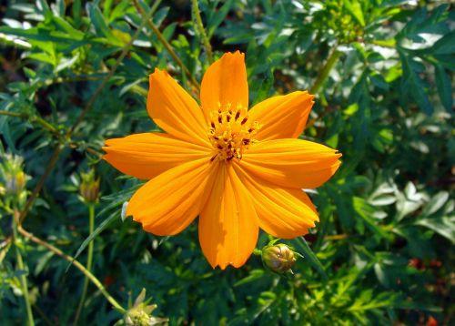 kosmosas,auksinis,gėlė,flora,sodas,oranžinė kosmosas,kosmoso sulfurozė,asteraceae,makro,Karnataka,Indija