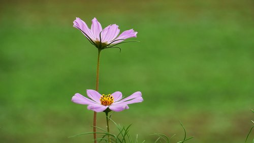 Cosmos, augalai, pobūdį, lapų, vasara, Iš pobūdį, Korėja, Šis tipas, gėlės, Žiedlapis, gražus