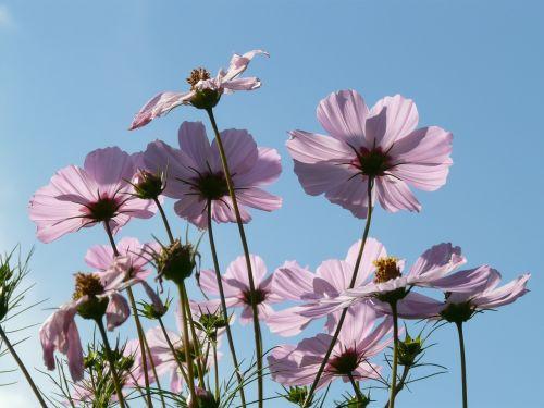 kosmosas,cosmea,gėlė,gėlės,šviesiai rožinė,permatomas,glazūruotas per,filigranas,atgal šviesa,šviesa,šviesiai violetinė,helllila,violetinė,violetinė,cosmos bipinnatus,cosmea bipinnata,bidens formosa,coreopsis formosa bonato,lankstinukas leved schmuckblume,išpjautas lapas,kosmee,kompozitai,asteraceae,dekoratyvinis augalas,dekoratyvinė gėlė,schnittblume,habitus
