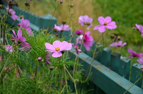 kosmosas,cosmos bipinnatus,sodas,rožinis,gėlės,kompozitai