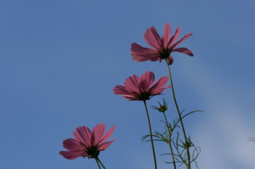 gėlė, kosmosas, rožinis, dangus, mėlynas, sodas, kosmosas prieš mėlyną dangų
