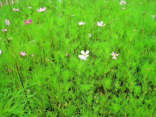 gėlės, kosmosas, pleistras, rožinis, žalias, sodas, kosmoso pleistras