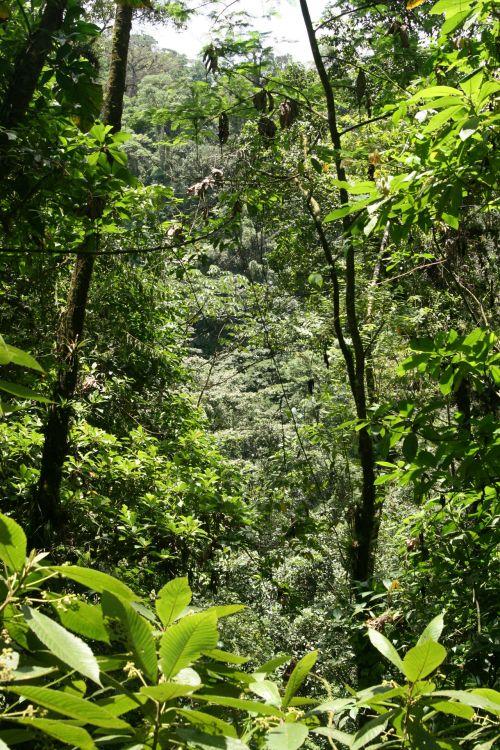 costa & nbsp, rica, medžiai, peizažas, miškas, lietaus & nbsp, miškas, Kosta Rika lietaus miškas