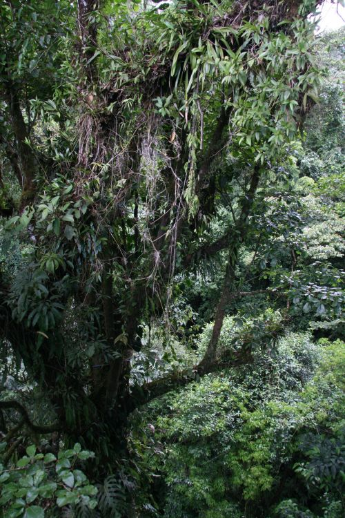 Krantas, & nbsp, Rika, medis, Kosta Rika medis