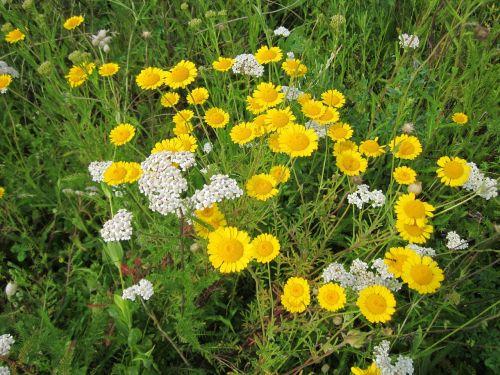 cota tinctoria, aukso marguerite, geltona ramunė, Oksėja ramunė, wildflower, flora, botanika, augalas, rūšis, žydi