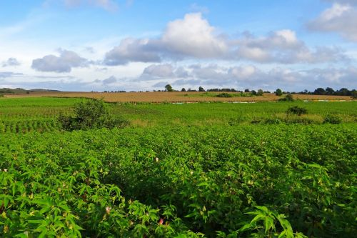 medvilnė,kukurūzai,auginimas,mundgod,Indija