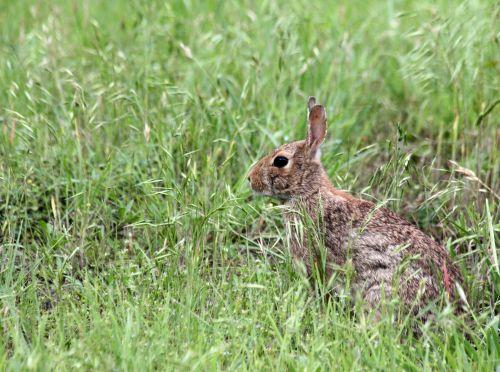 gamta, laukinė gamta, gyvūnai, graužikai, triušis, cottontail, pilka & nbsp, triušis, kailis, sėdi, aukšta & nbsp, žolė, laukinė & nbsp, žolė, žalia žolė, bunny & nbsp, ausys, sienos, fonas, kambarys & nbsp, už & nbsp, tekstą, medvilnėlis triušis žolėje