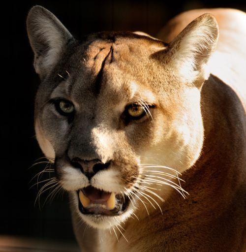 puma,Puma,Uždaryti,akys,laukinė gamta,mėsėdis,panther,plėšrūnas