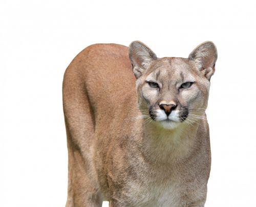 puma, Puma, kalnas & nbsp, liūtas, liūtas, panther, katamount, katė, kačių, gražus, Iš arti, galva, veidas, detalės, izoliuotas, balta, fonas, gyvūnas, laukiniai, laukinė gamta, puma ir izoliuotas baltas fonas