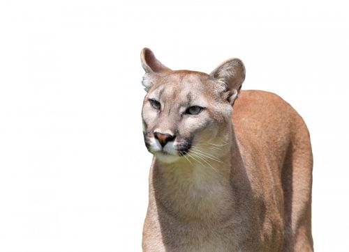 puma, Puma, kalnas & nbsp, liūtas, liūtas, panther, katamount, katė, didelis, kačių, gyvūnas, Iš arti, galva, veidas, izoliuotas, balta, fonas, gražus, detalės, laukiniai, laukinė gamta, puma ant balto fono