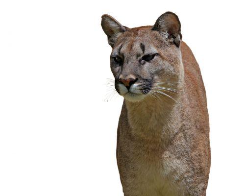 puma, Puma, kalnas & nbsp, liūtas, katė, didelis, didelis & nbsp, katinas, katamount, gyvūnas, laukiniai, laukinė gamta, gražus, Iš arti, izoliuotas, balta, fonas, puma ant balto fono