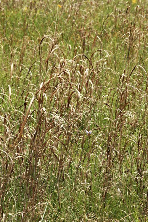 gamta, augalai, žolė, aukšta & nbsp, žolė, garbanotas & nbsp, žolė, ruda & nbsp, žolė, laukinė & nbsp, žolė, auga, laukas, šalies laukas, Oklahoma, fonas, žolė & nbsp, fonas, šalies lauko fonas