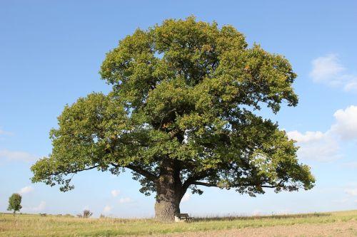 lauko ąžuolas,ąžuolo,medis,senas ąžuolas,dangus,poilsis,vokiškas ąžuolas,sėdėti,kraštovaizdis,laukas,senas,pieva,žievė,gamta