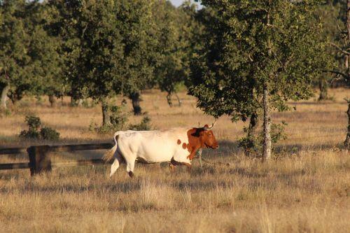 karvė,gyvuliai,gyvūnai,laukas,ūkis,gamta,žalias,ragai,prairie,jautiena,gyvūnas,galvijų veisimas,ganyklos,žinduolis,Prado,gyvūninė prigimtis,kraštovaizdis,kalnas,laukiniai,veršiena,ganykla,Dehesa,Salamanca,Ispanija,pronghorn in colorado,išleistas gyvūnas,galvijai,gyvulininkystė,ąžuolai,medžiai,Colorado,baltos ir raudonos,ruda,miškas,vasara,bėgimas,judėjimas,išgąsdinti,cuatrero,geležinė gyvulininkystė,numeris 6,laidinis,tvoros,krūmai,ranča,herradero,Laukiniai vakarai,Vakarų,ūkių mokykla,laukinis gyvenimas,gyvenimas laisvėje,zoologijos sodas