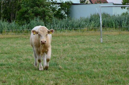 karvė,ganykla,ganyti,jautiena