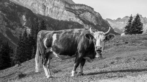 karvė,pieva,ganykla,kalnai,ragai,juoda ir balta,Žemdirbystė,galvijai,gamta,gyvūnas,karvės,kalnų pievos