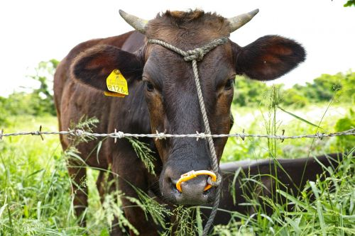 karvė,ranča,veidas
