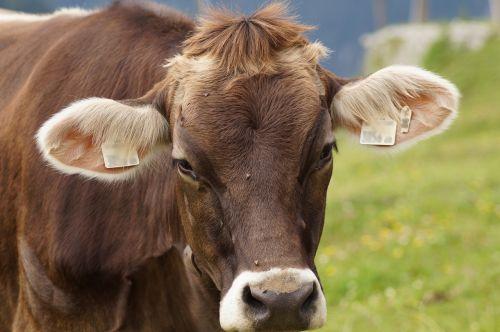 karvė,jautiena,gyvuliai,ganykla,gyvūnas,akys,žinduoliai,pieno karvė,gamta,galvijai,atrajotojas,pieva,Alpių,kalnų pievos,Žemdirbystė,ganomi gyvuliai