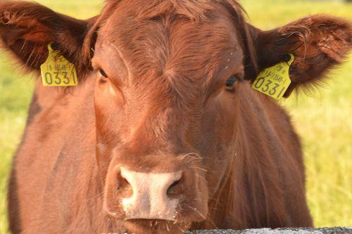 karvė,įdomu,galvijai,pieno,Žemdirbystė,gyvūnas,ūkis,žinduolis,vidaus,lauke,ūkio gyvūnai,kaimas,gyvuliai,ranča,Naminiai gyvūnai,žemės ūkio paskirties žemė,ganymas,žemės ūkio