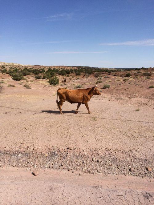 karvė,galvijai,dykuma,gyvuliai,jautiena
