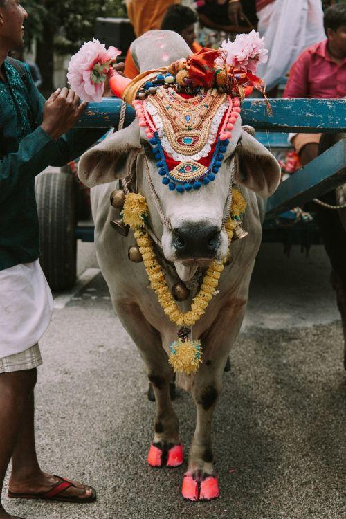 karvė,šventas,šventas,Indija,hinduizmas,tradicinis,gyvūnas,religinis,dvasingumas,kultūra,religija