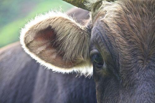 karvė,andes,atgal šviesa,plaukai,išsamiai,jautiena,ausis,galvijų ausis,kuhohr