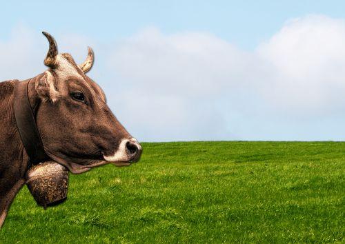 karvė, gyvūnas, gamta, galva, Uždaryti, uždaryti & nbsp, ragai, jautiena, galvijai, pieva, laukas, žalias, žolė, mėlynas, dangus, ūkis, Laisvas, viešasis & nbsp, domenas, karvė pievoje