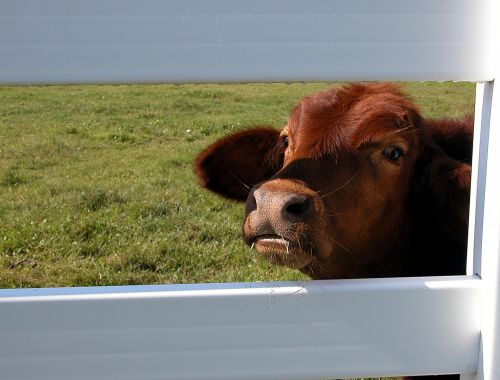 karvė, tvora, gyvūnas, mielas, peering, žiūri, galva, ūkis, ranča, žinduolis, lauke, kraštovaizdis, gamta, karvė žiūri per tvorą