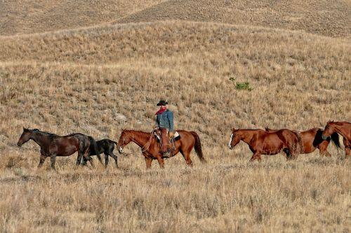kaubojus,ranča,galvijai