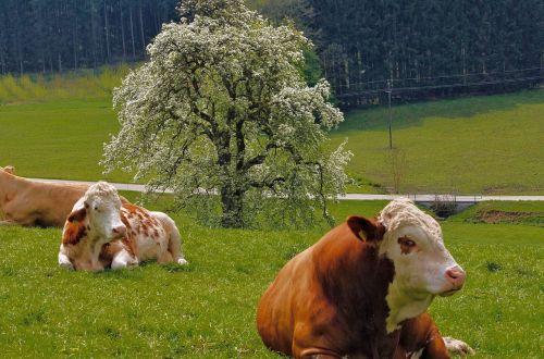 karvės,Žemdirbystė,ganomi gyvuliai