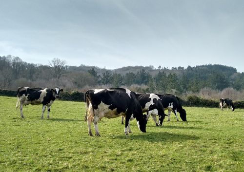 karvės,Prado,Galicia,ganyklos