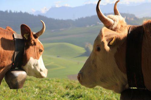 Karvės Su Hönern, Karvės Su Ragais, Kraštovaizdis Su Karvėmis, Šveicarija, Kraštovaizdis, Žemdirbystė, Ganykla, Vasara