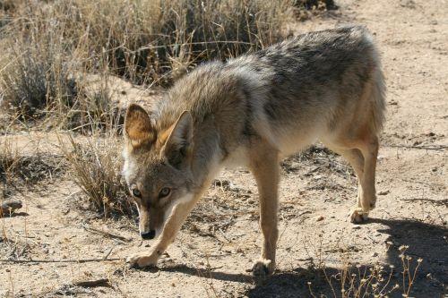 kojotas,laukinė gamta,gamta,parkas,laukiniai,šunys,plėšrūnas,kailis,gyvūnas,dykuma,portretas